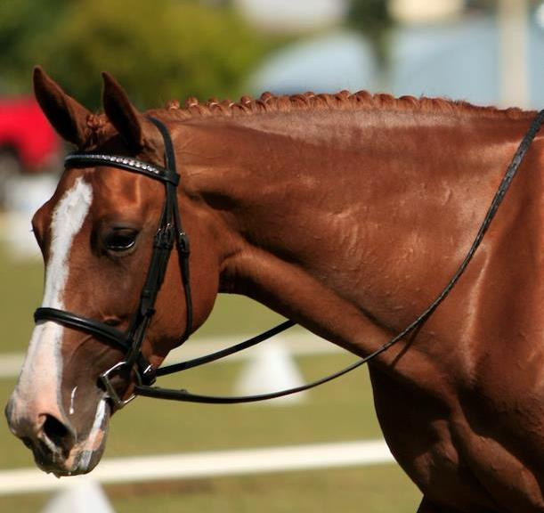 Showfields Celtic Star - WB mare